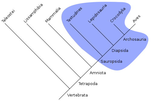 Class Reptilia - a paraphyletic taxon - diagram from Wikimedia