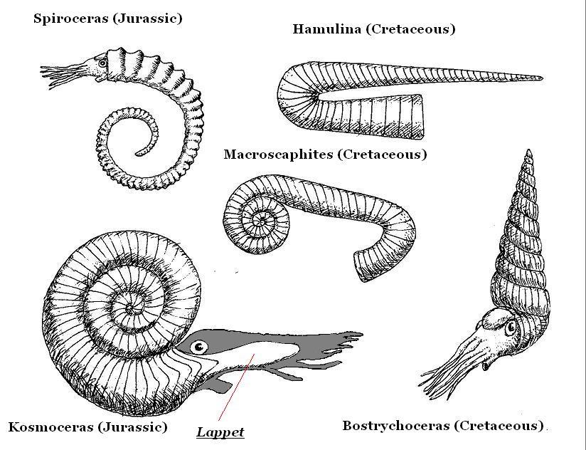 Triassic Animals List Figure selected ammonites