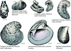 Bivalves - from Fention & Fenton - click for larger image