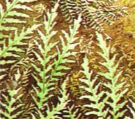 Triassic Period Plants Palaeos Mesozoic : Tri...