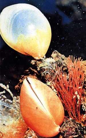 palaeos metazoa lophotrochozoa brachiopoda