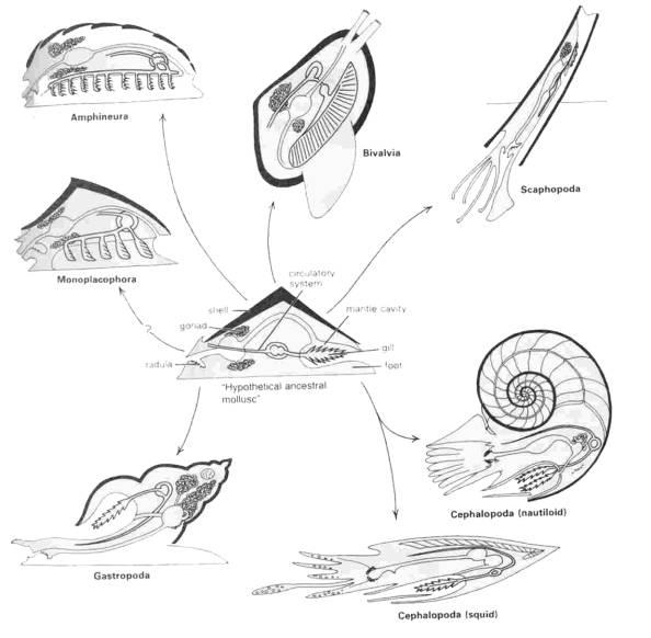 Gastropod Diversity