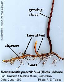 Fern Rhizome Rhizome a  usually