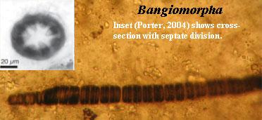 http://palaeos.com/proterozoic/images/Bangiomorpha.jpg