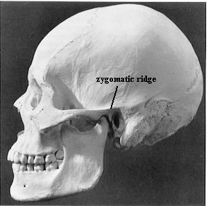 Zygomaticridge  a ridge which continues the zygomatic arch posteriorly    Zygomatic Region