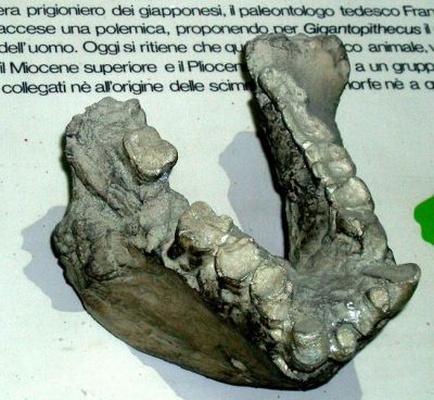 Gigantopithecus   G  bilaspurensis  G  blacki  G  giganteusGigantopithecus Giganteus